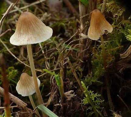 Mycenella trachyspora