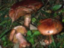 Cortinarius rufoolivaceus