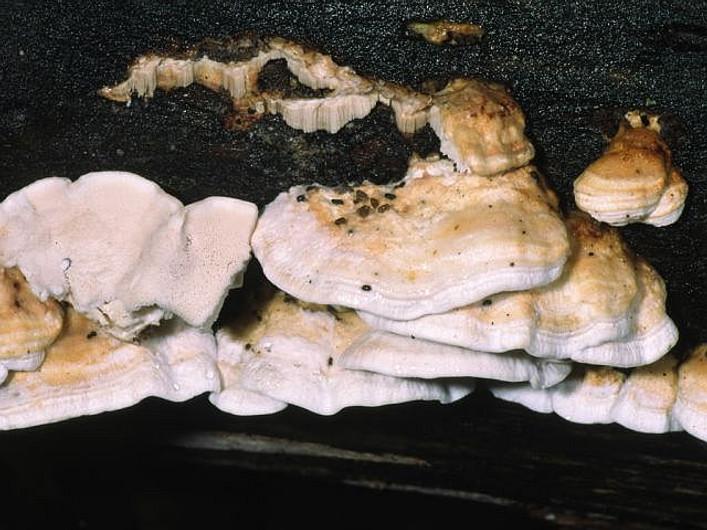 Spongiporus leucomallelus