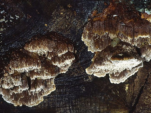 Inonotus nodulosus