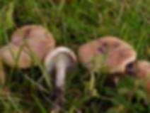 Gomphidius maculatus