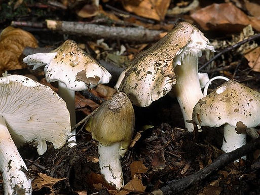 Tricholoma umbonatum
