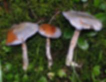Cortinarius salor