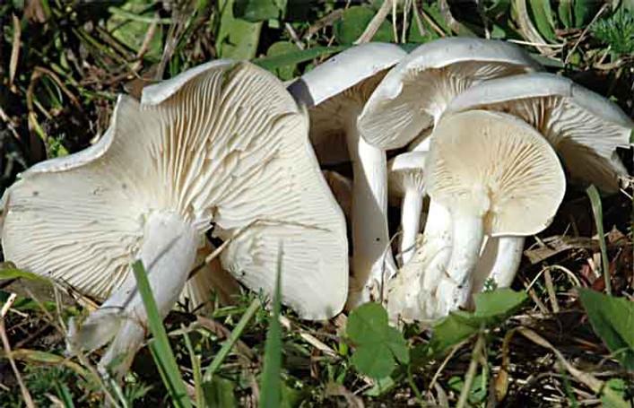 Lyophyllum connatum