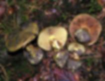 Cortinarius atrovirens