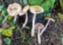 Cortinarius illibatus