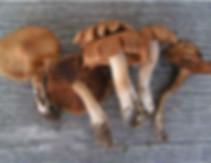 Cortinarius duracinus