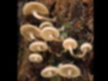 Pholiota scamba