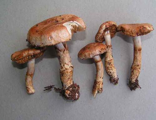Cortinarius fluryi