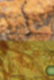 Botryobasidium robustior
