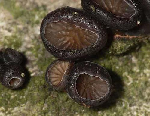 Hohenbuhelia unguicularis