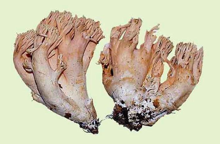 Ramaria formosa