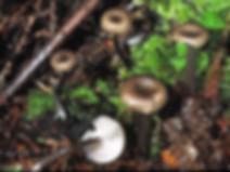Myxomphalina maura