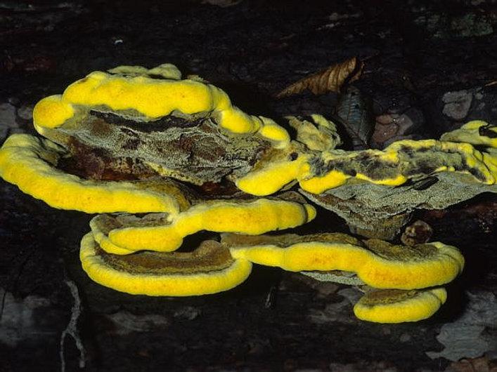 Phaeolus spadiceus