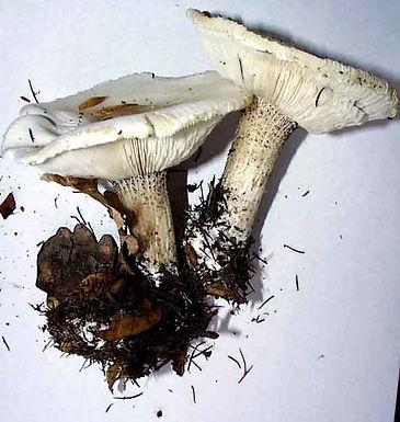 Melanoleuca verrucipes