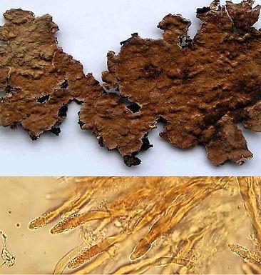 Amylostereum chailletii
