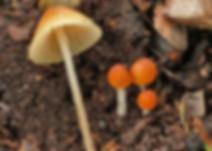 Mycena leptophylla