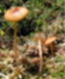 Galerina tipiicystis