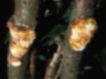 Dichomitus campestris