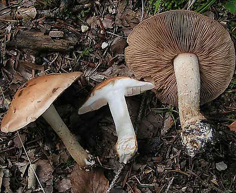 Hebeloma truncatum