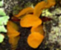 Dacrymyces variisporus