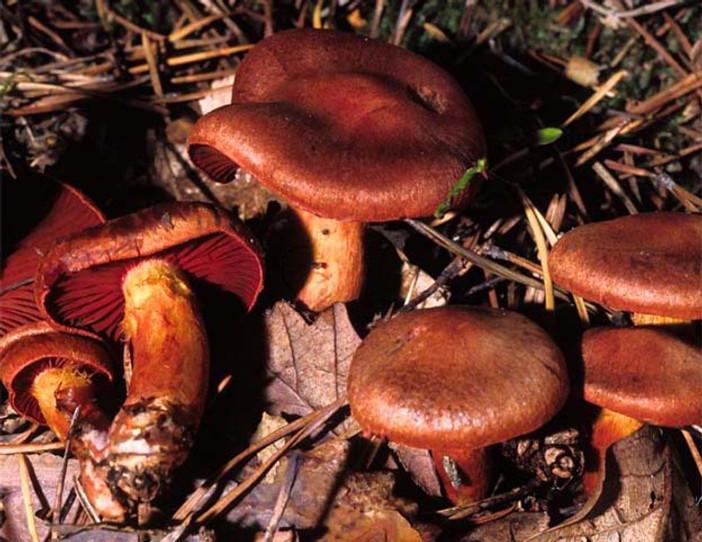 Cortinarius purpureus