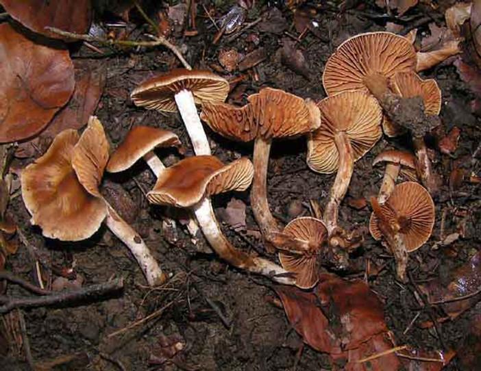 Cortinarius casimiri