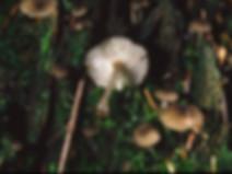 Hydropus marginellum