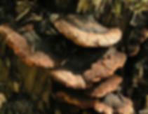 Gloephyllum odoratum