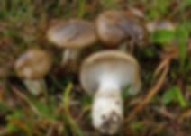 Hygrophorus latidabundus