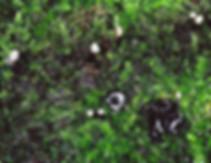 Holwaia mucida