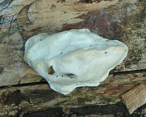 Spongiporus stipticus