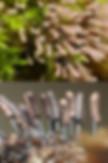 Stemonitopsis typhina