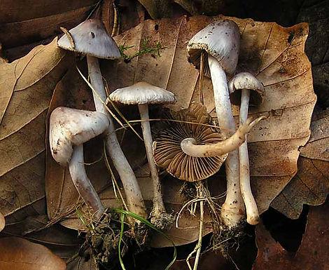 Inocybe geophylla var. lilacea