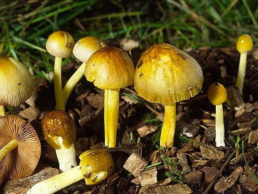 Bolbitius variicolor