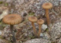 Omphalina velutipes