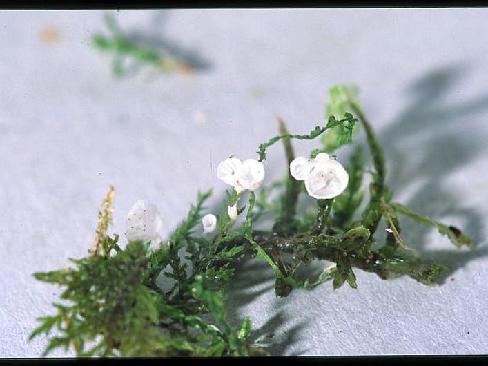Rimbachia bryophila