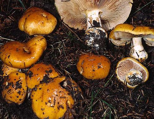 Cortinarius aurantiacus