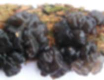 Exidia umbrinella