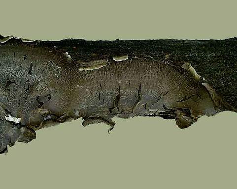Lopharia spadicea