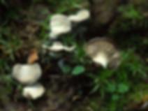 Omphalina acerosa