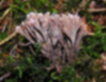 Thelephora palmata