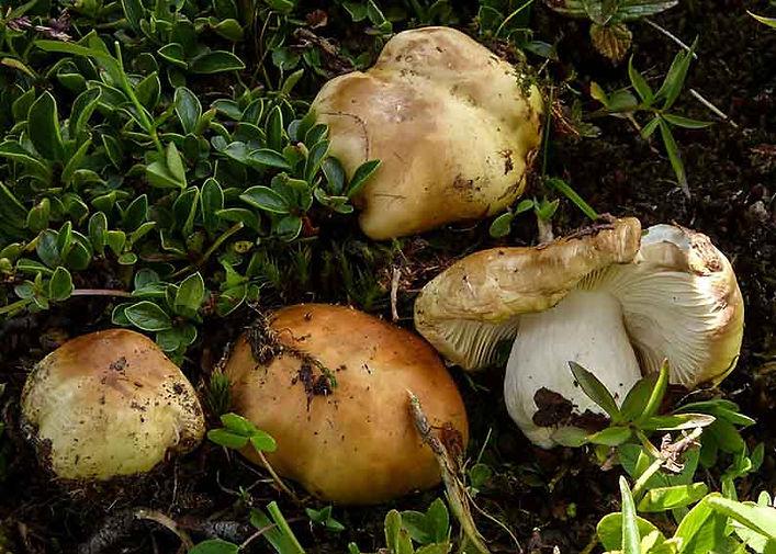 Russula felleacolor