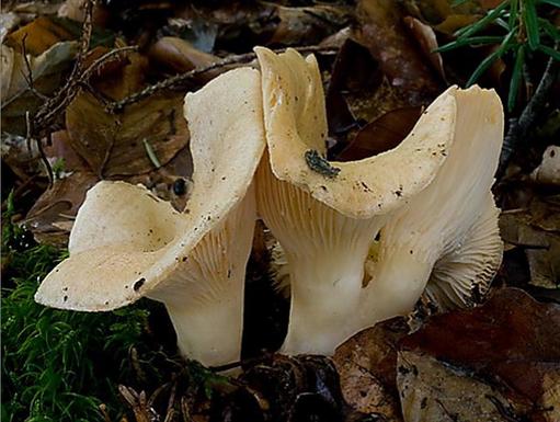 Lactarius illyricus