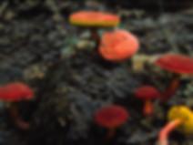 Xerocomus rubellus