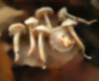 Hygrophorus hetrychii