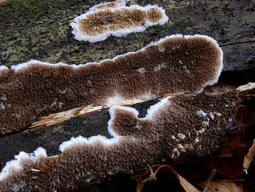 Serpula himantioides