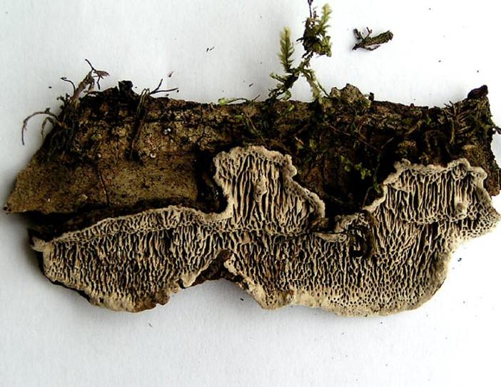 Datronia mollis