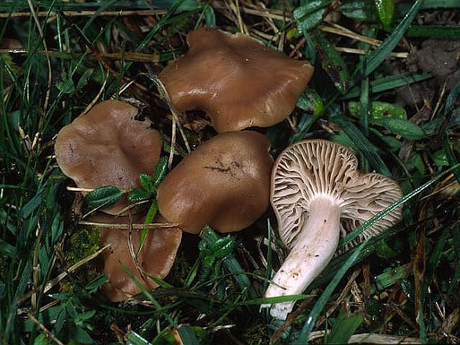 Hygrocybe colemanniana