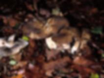Lyophyllum amariusculum